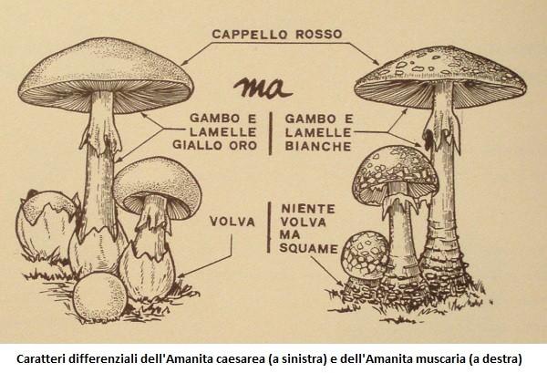 Amanita muscaria: un fungo magico