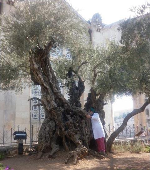 Gli Ulivi del Getsemani