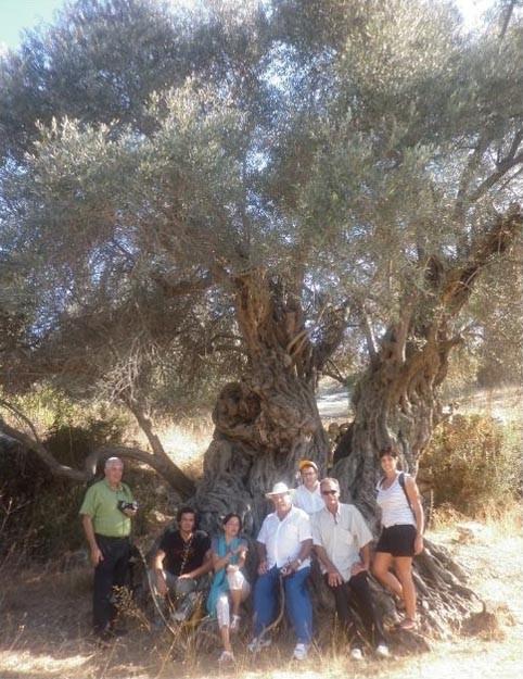 Olivo di Giamalla 8,88 m di circonferenza calcolata a 50 cm d'altezza.