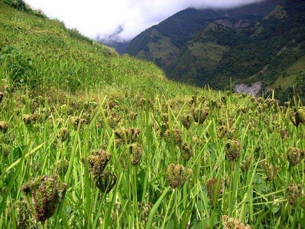 coltura di miglio indiano nel Nepal