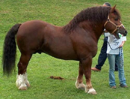 Cavallo Agricolo Italiano TPR