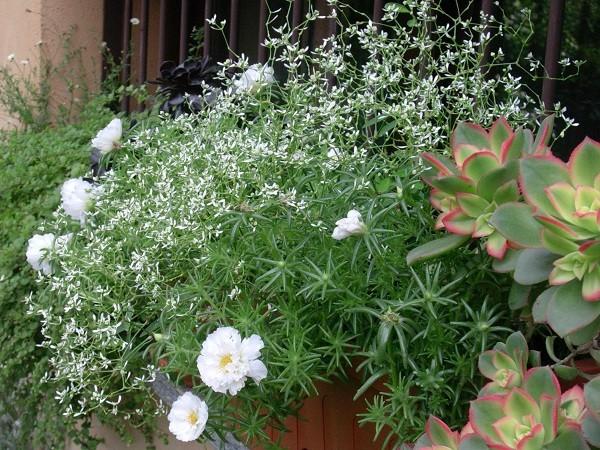 Il giardino in città: Euphorbia 'Diamond Frost'