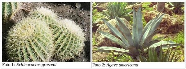 Echinocactus e Agave