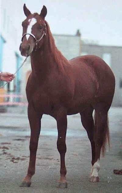 La Morfologia del Quarter Horse