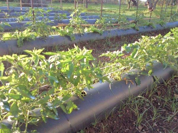 Piante di pomodori nei tunnel anti-infestanti