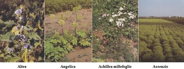 Altea, Angelica, Achillea, Assenzio