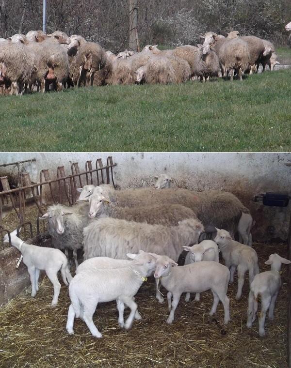 Il  formaggio Carmasciano della Valle Ansanto