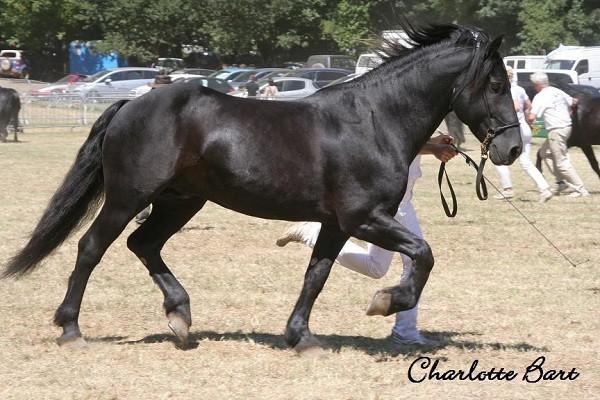Il  Merens, cavallo per uomini da cavalli