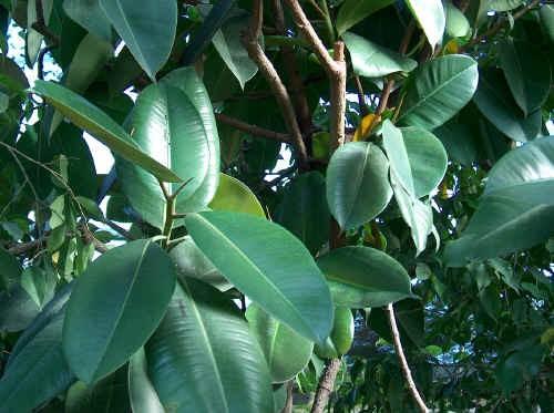 I Ficus (1^ Parte)