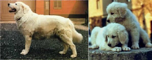 Storia ed Etimologia del cane da Pastore Maremmano-Abruzzese