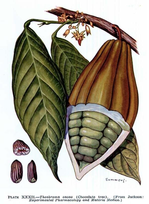 """Il  """"cibo degli dei"""": Theobroma cacao"""