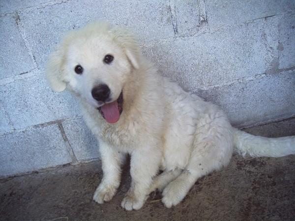 Carattere e Comportamento del cane da Pastore Maremmano-Abruzzese