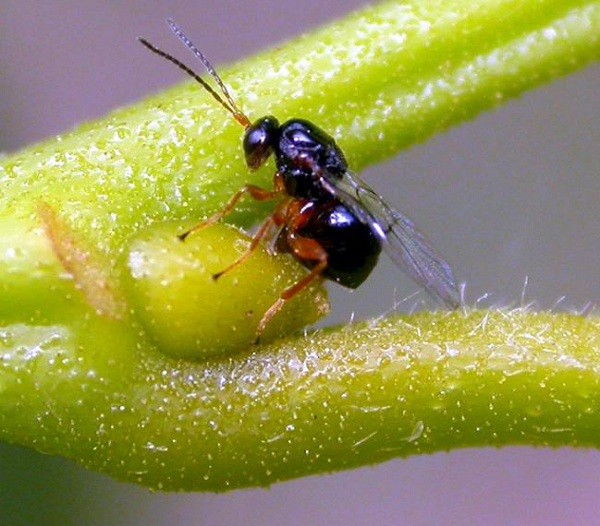 Cinipide galligeno del castagno