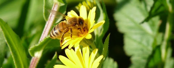 Api ed apicoltura: introduzione all'allevamento
