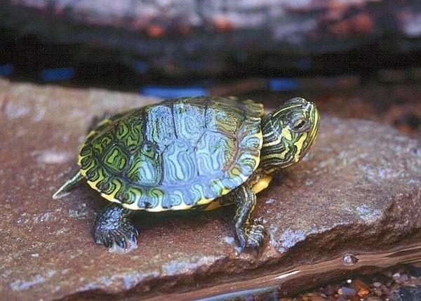 La cura delle tartarughe acquatiche piccola guida per for Acquario tartarughe prezzo