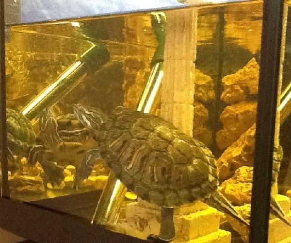 La cura delle tartarughe acquatiche piccola guida per for Contenitore per tartarughe