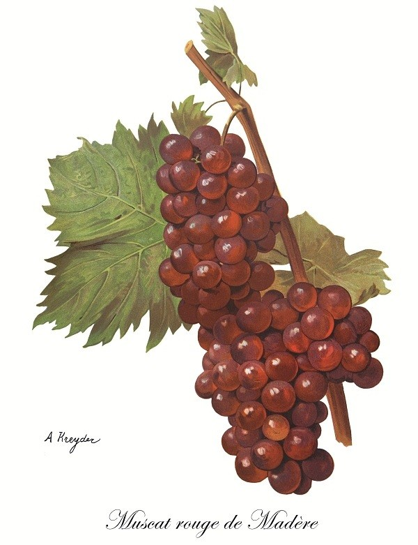Muscat rouge de Madere