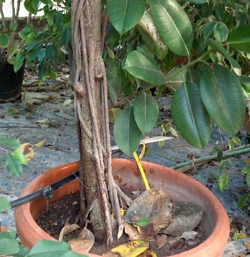 I Ficus (2^ Parte)