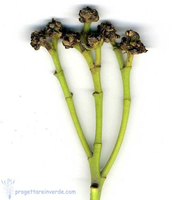 Patologie delle piante ornamentali: la rogna dell'oleandro