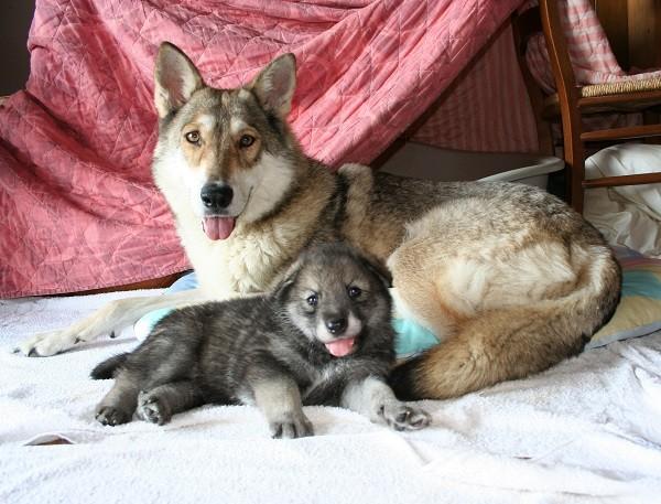 Femmina di cane Lupo di Saarloos