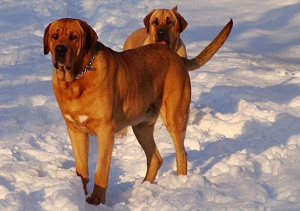 Cani di razz Broholmer