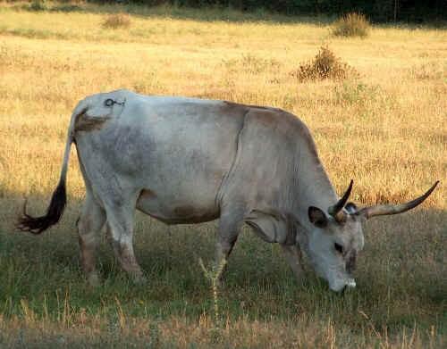 Vacca di razza Maremmana