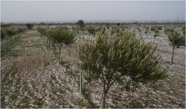 """Le piante di olivo e l'olio: """"dalla fine del mondo"""""""