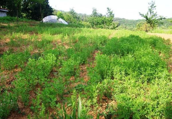 Piccolo appezzamento coltivato a lenticchie
