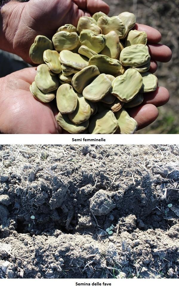 Semina delle fave