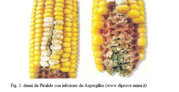 La coltivazione del grano e del mais in Italia ed il rischio di contaminazione da micotossine