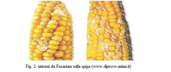 Sintomi da Fusarium