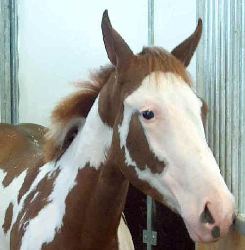 Paint Horse: il cavallo dei Comanche