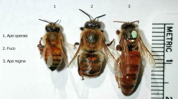 Differenze morfologiche fra ape operaia, fuco e regina