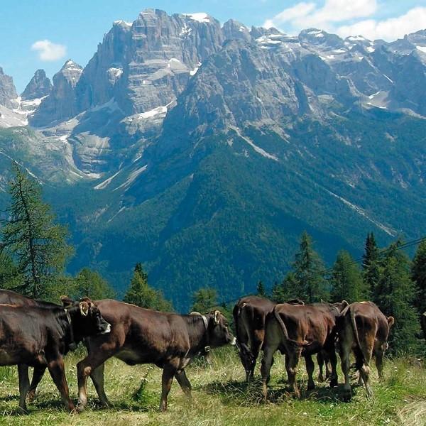 Razza Rendena, una risorsa per la zootecnia alpina