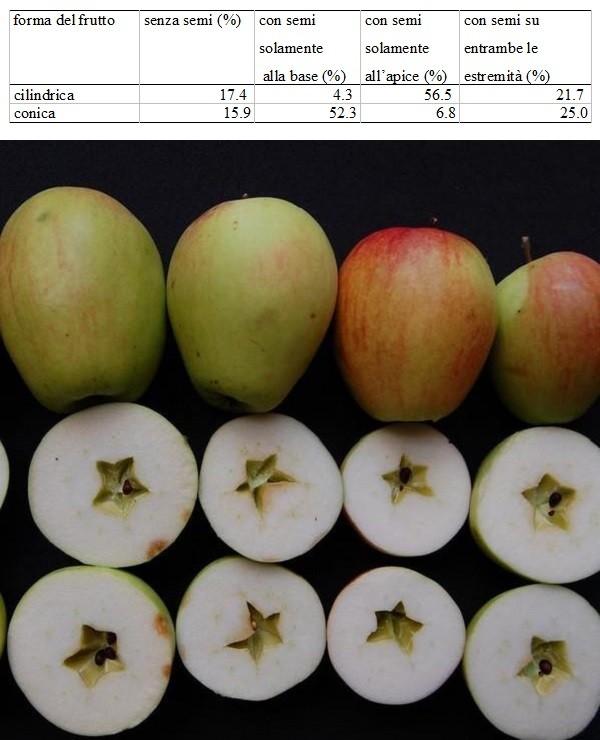 Frutti di forma cilindrica interi e in sezione trasversale