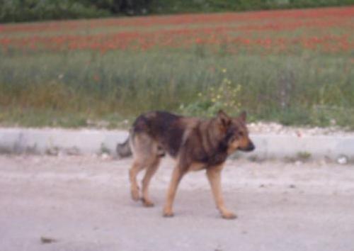 Prpbabile ceppo originale di cane da tocca