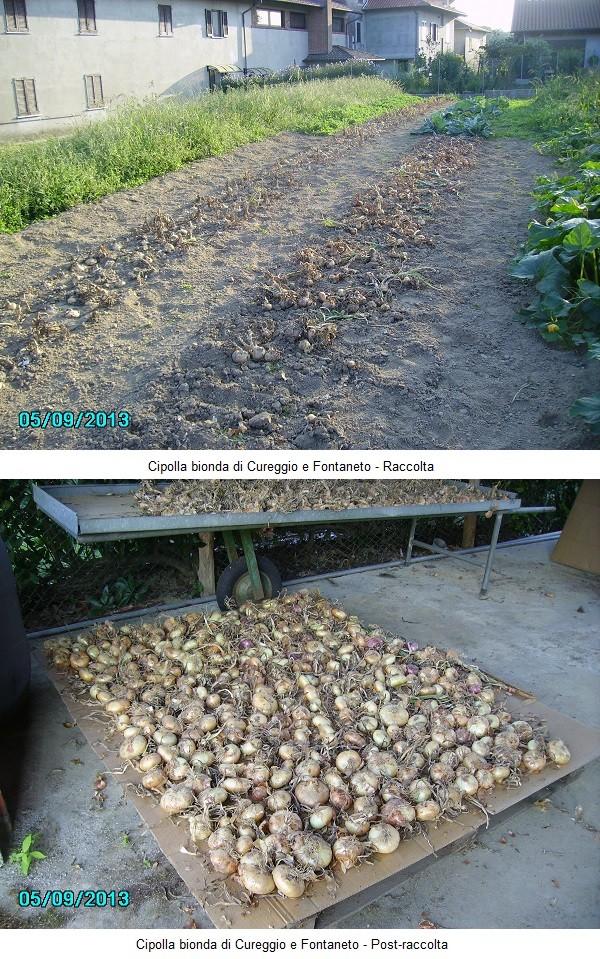Raccolta Cipolla Bionda di Cureggio
