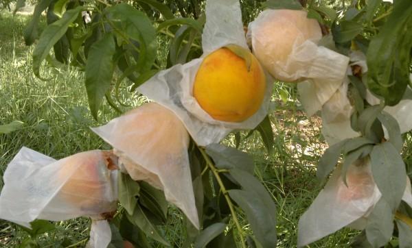 Insacchettamento dei frutti