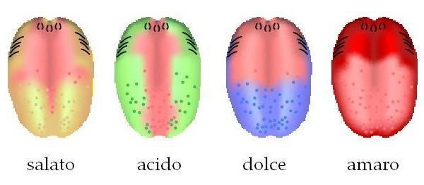 Diverse zone di percezione dei sapori fondamentali sulla lingua