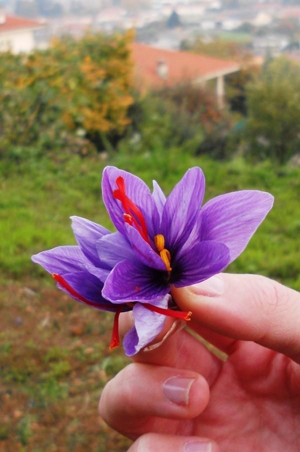 Fiore di Crocus sativus