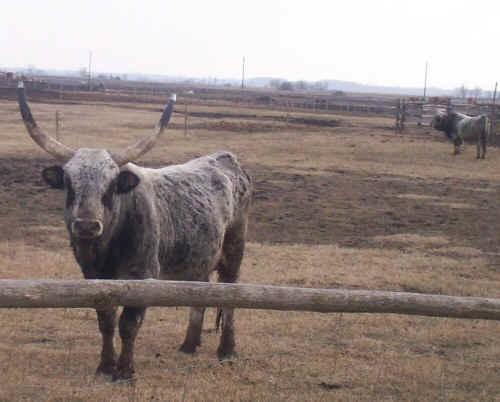 Hungarian Grey, un bovino da valorizzare