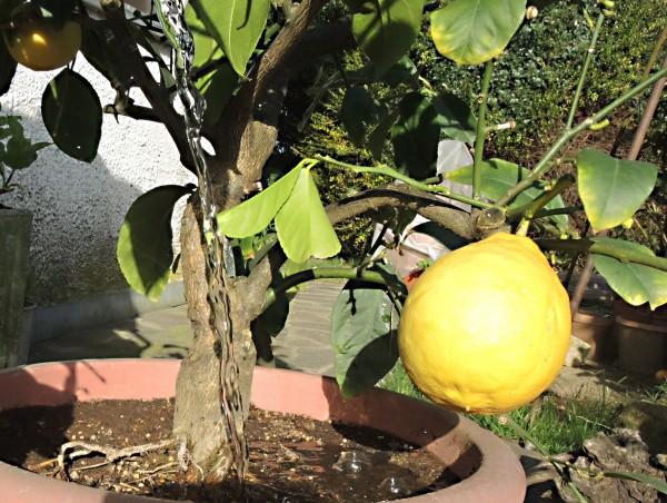 Irrigare gli agrumi in vaso