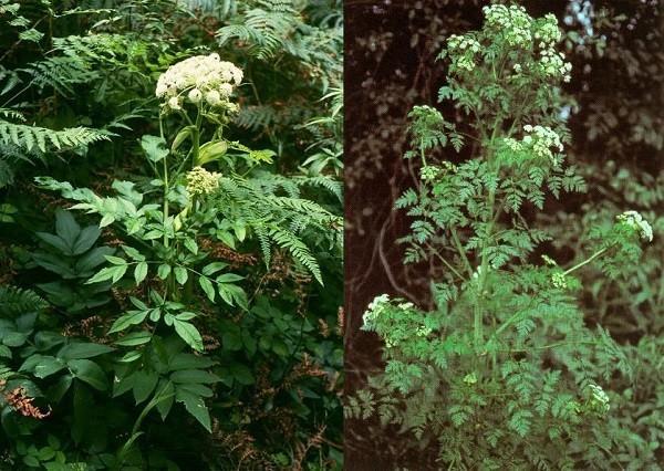 Angelica sylvestris, Conium maculatum