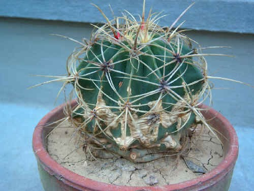 Ferocactus eymorii