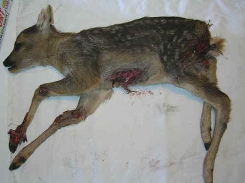 Cucciolo di capriolo morto