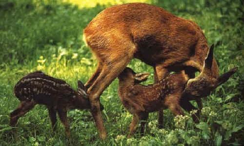 Femmina di capriolo con cuccioli
