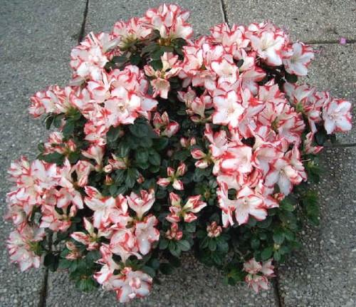 Rododendro e azalea rivista di - Azalee da esterno ...