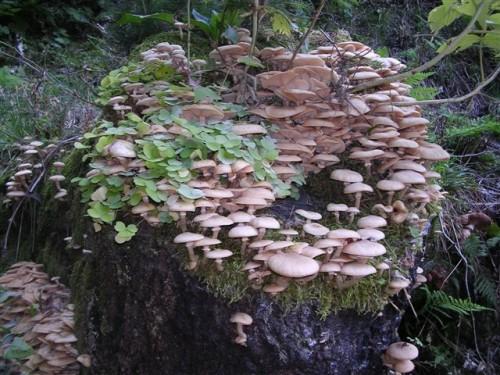 Funghi parassiti: Armillaria e Heterobasidion annosum