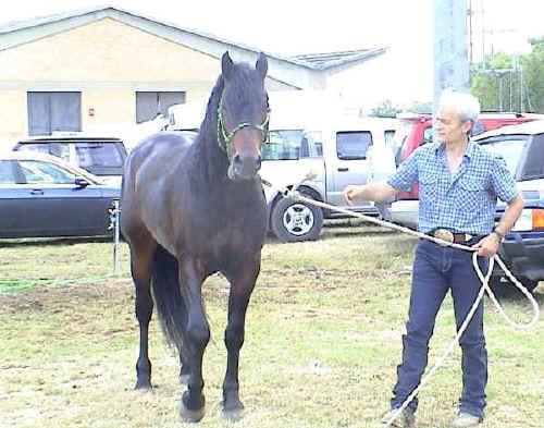 Delfino, stallone del Catria (proprieta' Gianni Marcelli)