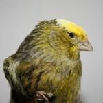 Il canarino Lizard